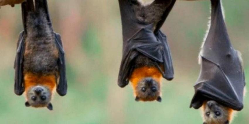 Descubren nuevos coronavirus en murciélagos