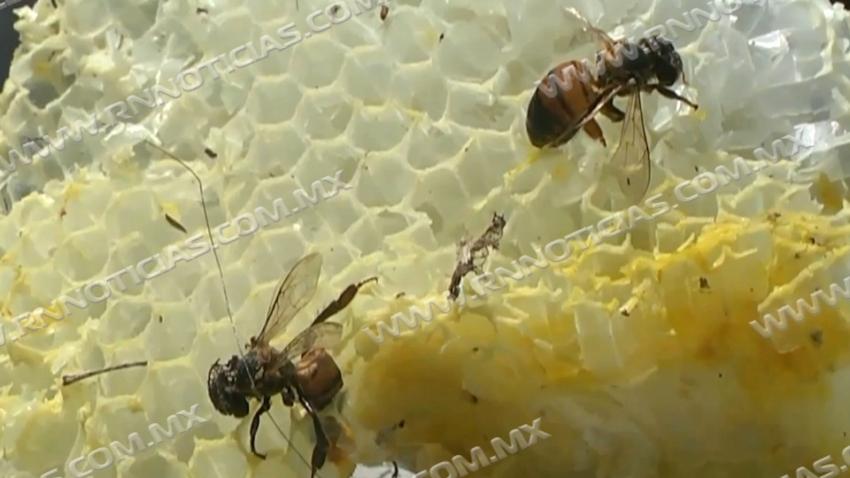 Aumenta 12 por ciento reportes de enjambres de abejas