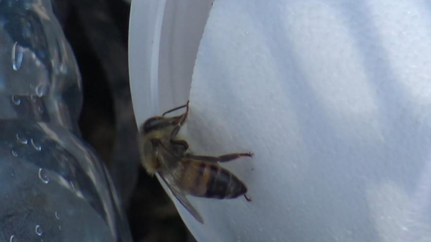 VIDEO Aumenta 12 por ciento reporte de enjambres de abejas
